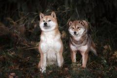 Chien du shiba-inu deux en parc Photo libre de droits