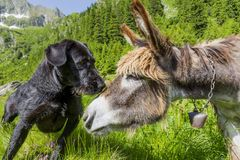 Chien embrassant sa fin d'ami d'âne  Image stock