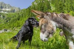Chien embrassant son ami d'âne sur le front Photo stock