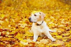 Chien en automne Photographie stock