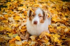 Chien en parc d'automne Image stock
