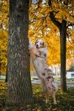 Chien en parc d'automne Photos libres de droits