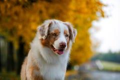 Chien en parc d'automne Photos stock