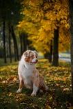 Chien en parc d'automne Photographie stock