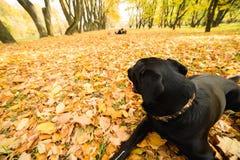 Chien en parc d'automne regardant les couples Photos stock