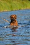 Chien en rivière Photographie stock libre de droits