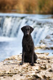 Chien enduit bouclé noir de chien d'arrêt Photographie stock libre de droits