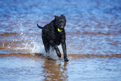 Chien enduit bouclé noir de chien d'arrêt fonctionnant sur la plage Photos libres de droits