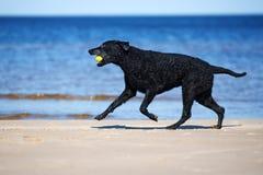 Chien enduit bouclé noir de chien d'arrêt fonctionnant sur la plage Photographie stock