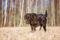 Chien enduit plat de chien d'arrêt sur un champ image stock