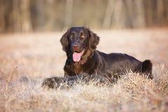 Chien enduit plat de chien d'arrêt sur un champ photo libre de droits