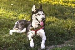 Chien enroué blanc se reposant sur l'herbe avec la langue en attendant le repas Photographie stock