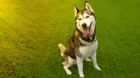 Chien enroué blanc se reposant sur l'herbe avec la langue en attendant le repas Photo stock