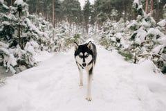 Chien enroué marchant dans la forêt neigeuse de pin photo stock