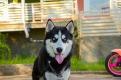 Chien enroué observé par bleu sibérien Photo stock