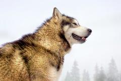 Chien enroué ressemblant à un loup en hiver photos stock