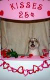 Chien enroué sibérien dans une cabine de baiser Thème de jour de valentines et d'humeur de chien grand pour des concepts photos stock