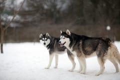 Chien enroué sur la neige Photo libre de droits