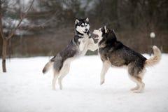 Chien enroué sur la neige Photographie stock libre de droits