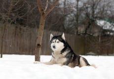 Chien enroué sur la neige Image libre de droits