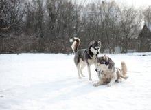 Chien enroué sur la neige Images libres de droits