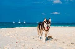 Chien espiègle de chien de traîneau sibérien sur les plages avec le ciel bleu Photo stock