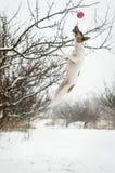Chien espiègle sautant pour la boule dans le jardin d'hiver Images stock