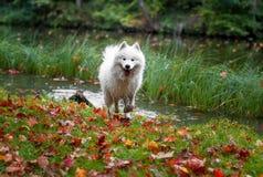 Chien et Autumn Maple Leaves humides de Samoyed à l'arrière-plan Images stock