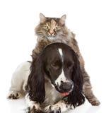 Chien et chat anglais de cocker. images stock