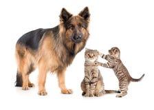 Chien et chat de berger avec le chaton effrayé Photo libre de droits