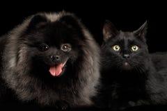 Chien et chat de Spitz de Pomeranian sur le noir Photo stock