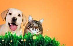 Chien et chat ensemble sur l'herbe, concept de ressort Image stock