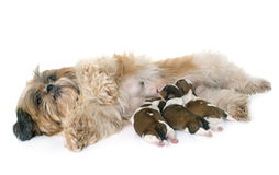 Chien et chiots de tzu de Shih Photo stock