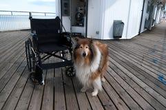 Chien et fauteuil roulant Images stock