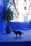 Chien et murs bleus, Chefchaouen, Maroc Images stock