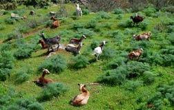 Chien et troupeau de chèvres Photos stock