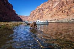 Chien explorant le fleuve Colorado près de Glen Canyon Dam photo libre de droits