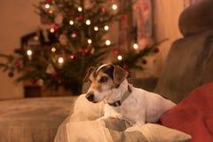 Chien fier de Jack Russell Terrier de Noël images libres de droits
