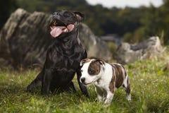 Chien foncé de bull-terrier du Staffordshire avec son ami Photo stock