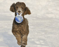 Chien fonctionnant dans la neige avec la boule du monde Photographie stock