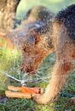 Chien géant d'Airedale Terrier de race jouant dans l'eau Images libres de droits