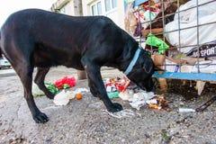 Chien égaré mangeant des déchets des récipients Photos libres de droits