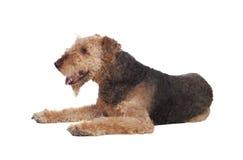 Chien gentil de race de terrier d'airedale Photographie stock