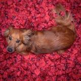 Chien gentil se situant dans le lit complètement des pétales rouges de fleur comme fond Image stock
