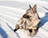 Chien gris se situant dans la neige Image stock