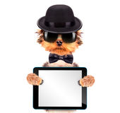 Chien habillé comme bandit de Mafia avec le PC de comprimé Photos stock