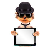 Chien habillé comme bandit de Mafia avec le PC de comprimé Images stock