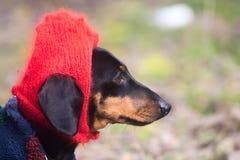 Chien habillé drôle de teckel avec le chapeau rouge sur la tête Photographie stock libre de droits