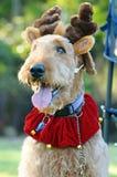 Chien haut étroit d'Airedale Terrier de portrait grand dans le ch Images stock