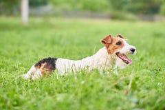 Chien heureux adorable de terrier de renard au parc Photographie stock